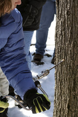 Tapping a maple tree to make maple syrup