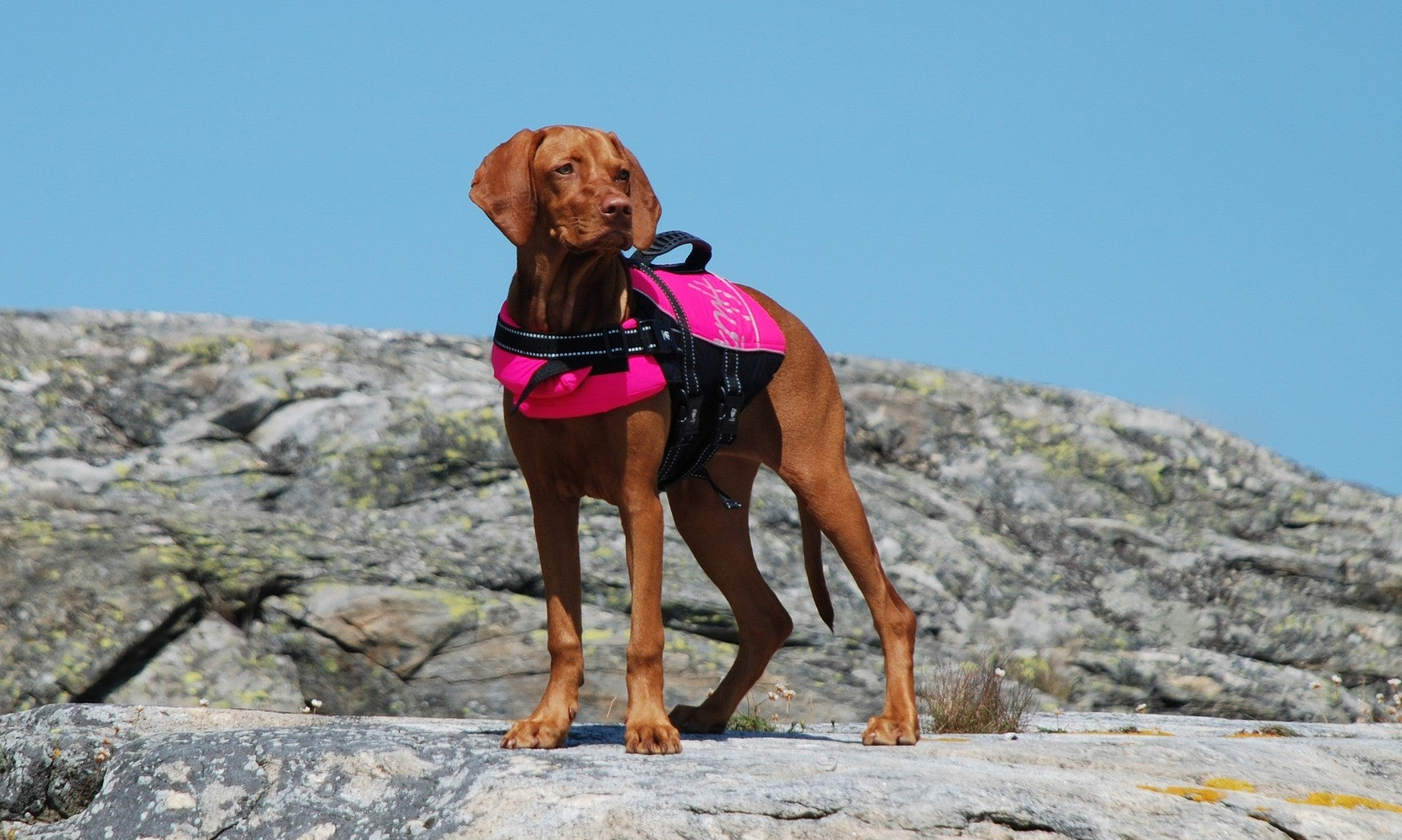 Dog in a life jacket