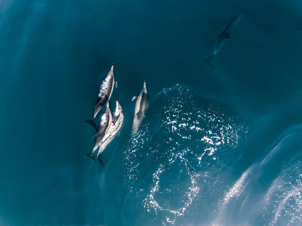 Aerial of dolphins swimming in dark blue sea in Cape Town