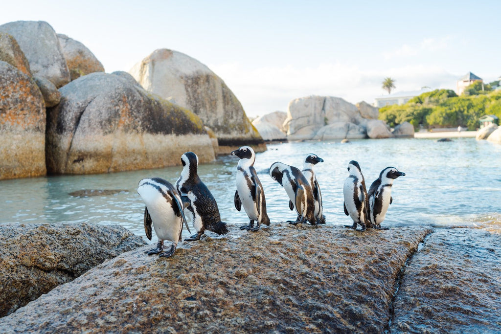 Seven penguins standing on a rock at boulders beach in Cape Town