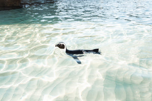 A penguin swimming in light water at boulders beach Cape Town