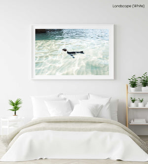 A penguin swimming in light water at boulders beach Cape Town in a white fine art frame