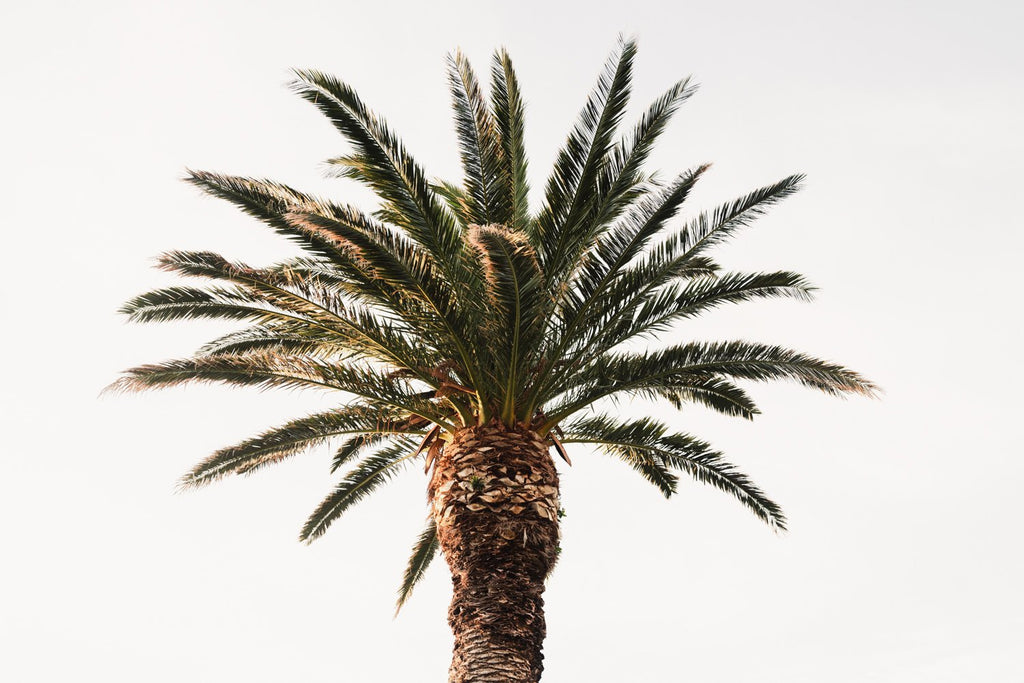 One palm tree with white background sky