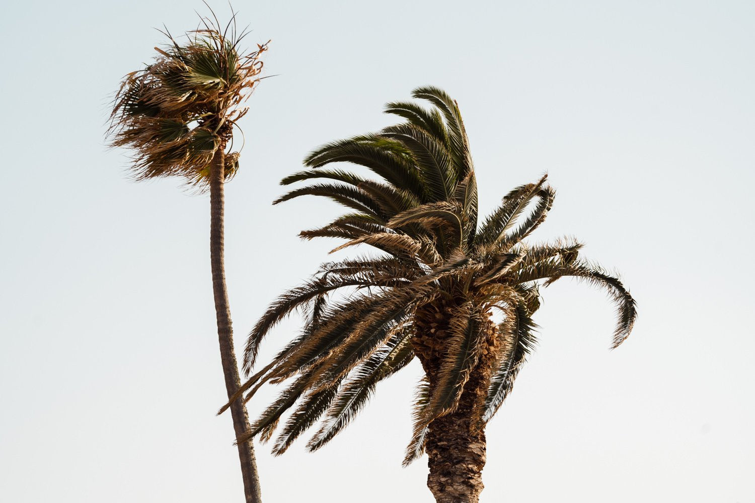 Two palm trees blowing in the wind at Ponta da Piedade