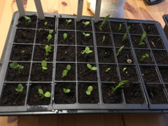 Seedlings in Seed Tray Indoors