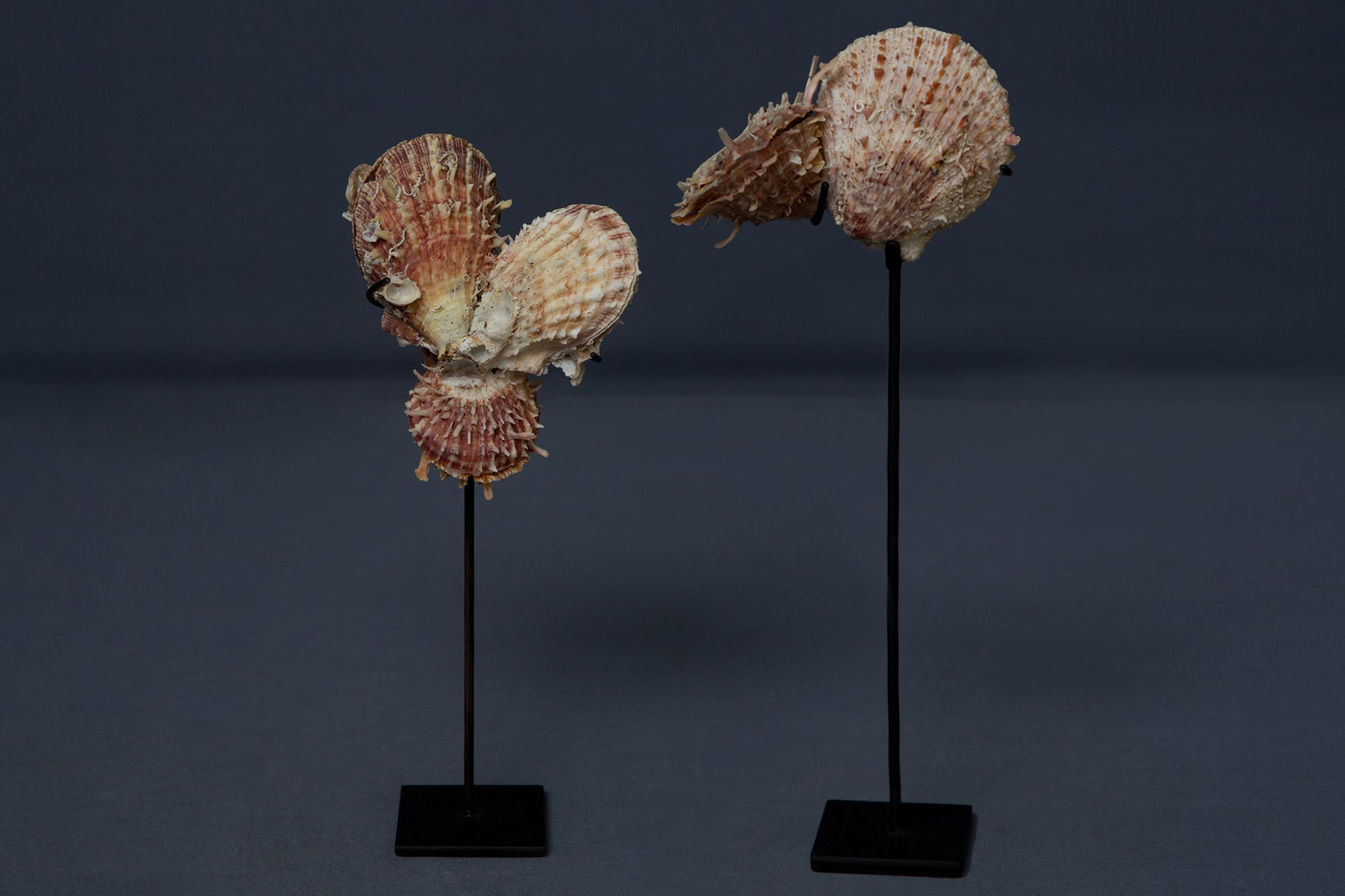 Pair of Multi-Spiny Clam Shells mounted on stands