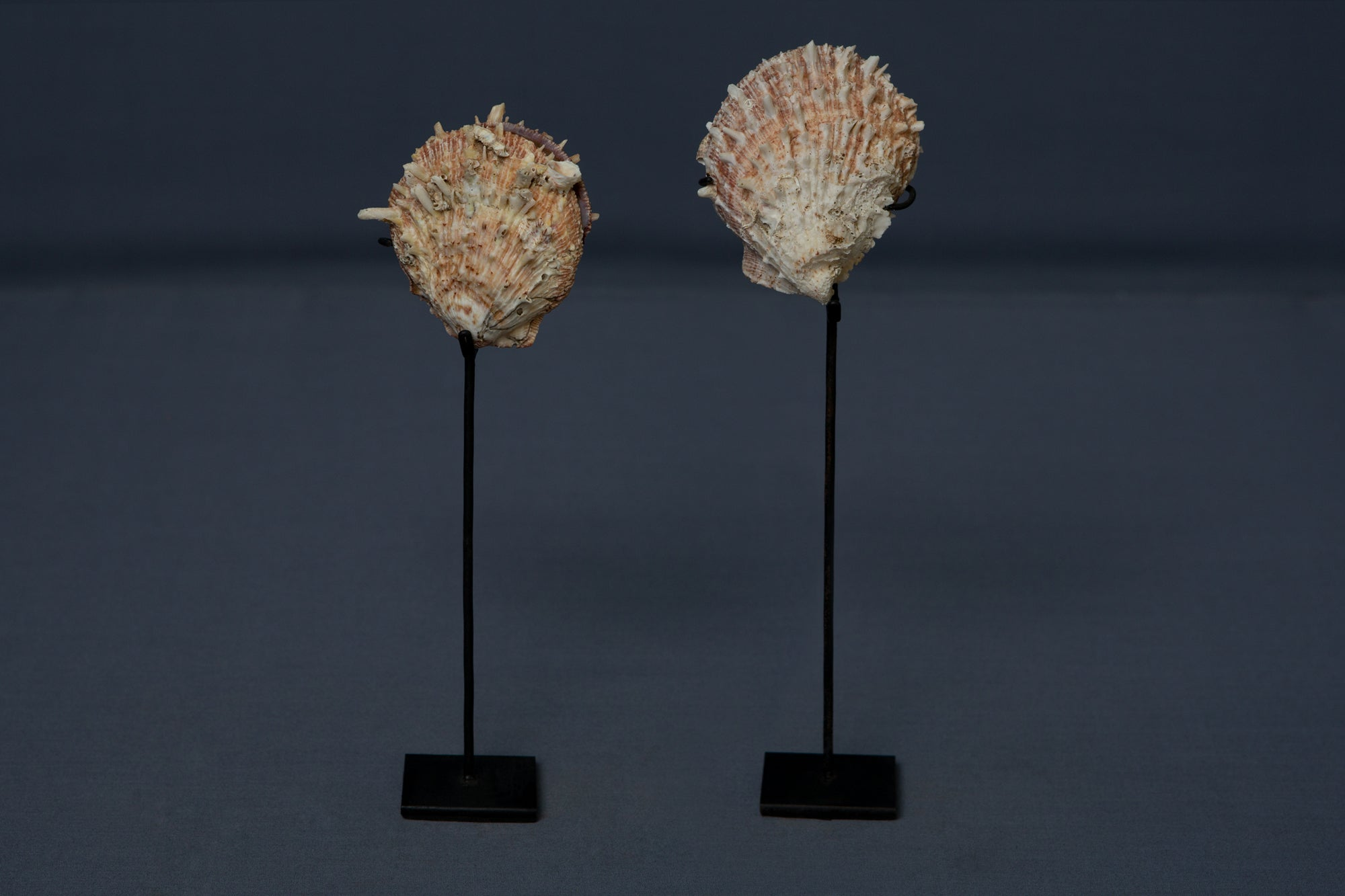 Pair of Spiny Clams mounted on stands