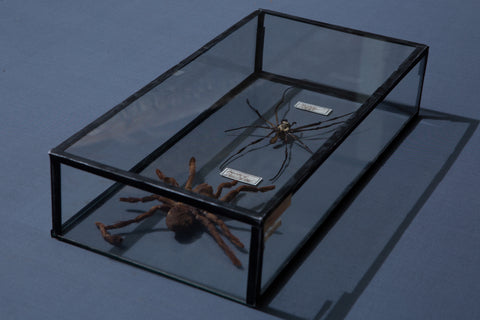 Mounted Spider Specimens