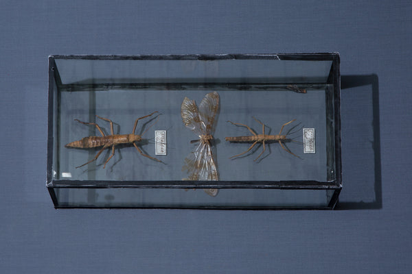 Mounted Walking Stick Specimens