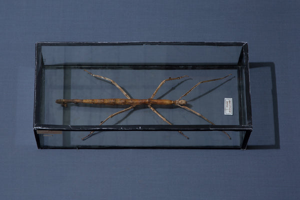 Mounted Walking Stick Specimen