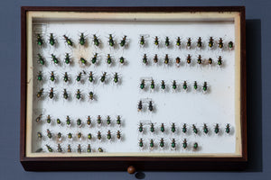 Large French Beetle Collection Box