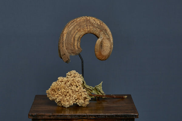 Mounted Great Horn Sheep