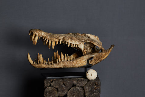Large Mounted Cast Resin Crocodile Head