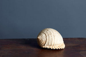 Large Pale Snail Shell