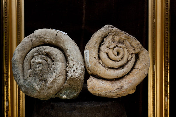 Large Fossilized Conch Shells