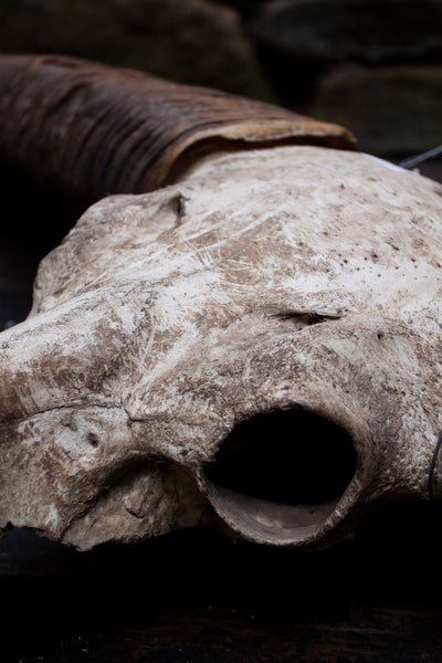 Large Water Buffalo Skull, Flores