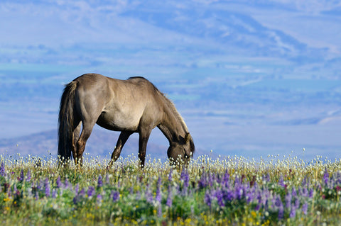 Grazing in the Lupines