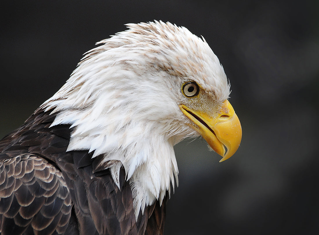 The Majestic Eagle
