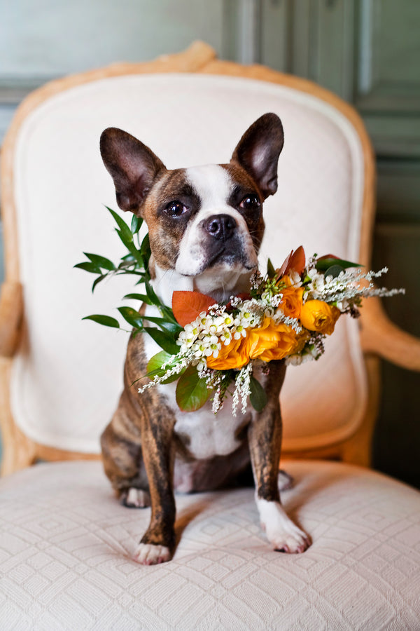 Dog Wearing Fall Flower Collar |  Tana Photography LLC