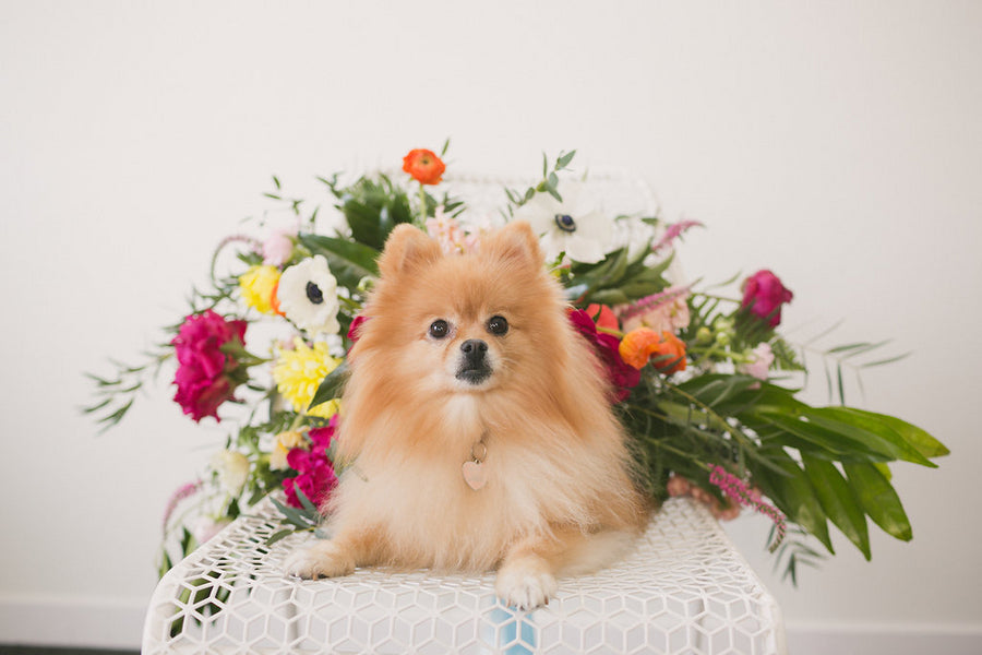 Pomeranian Flower Girl | 6 Dogs Who Stole the Show | Ampersand Studios | Kate Aspen