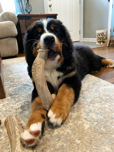 X-Large Deer Antler Dog Chew