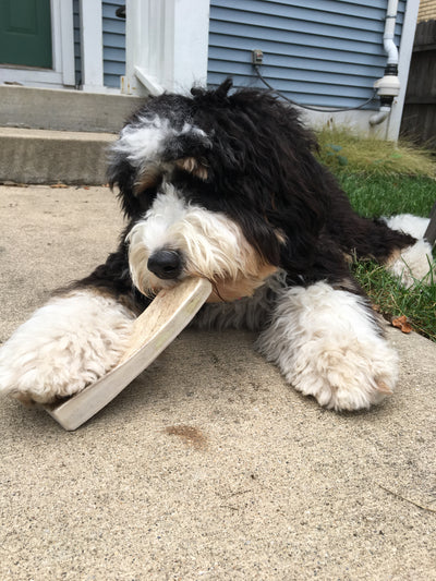 X-Large Moose Antler Dog Chew