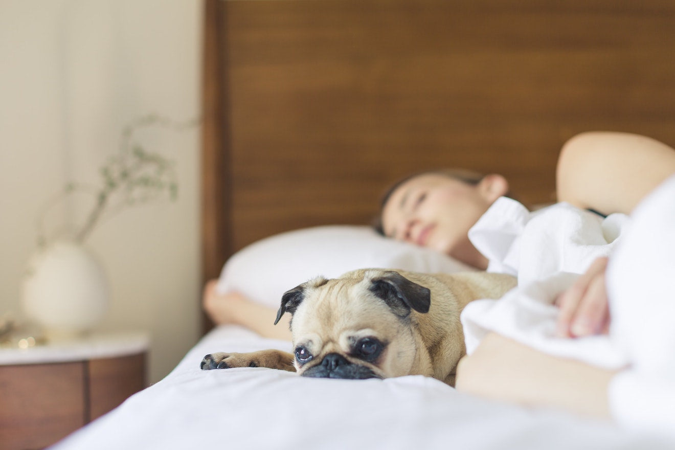 Pug sleeps next to owner