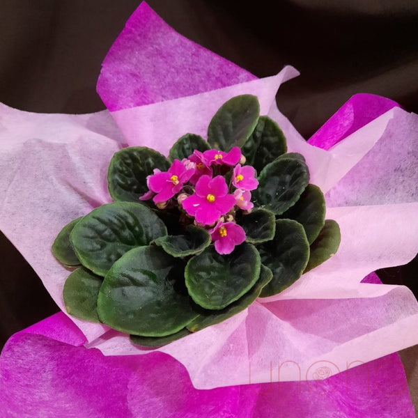 African Violets By Price