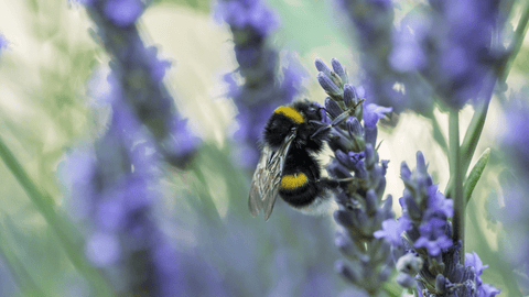 Bee resting on lavender