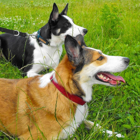 Eco-friendly dog collars - cork dog collars are much better for the planet!