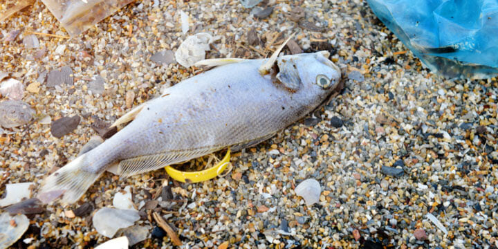 Microplastics in Foodchain - Fish