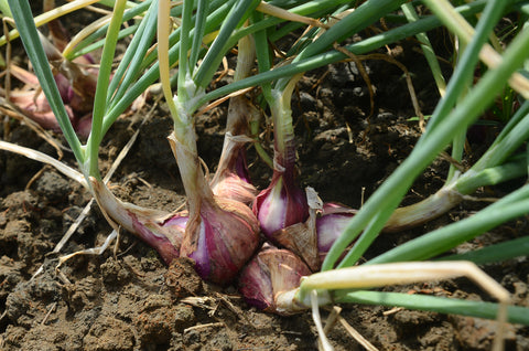 Onions grown by gardeners