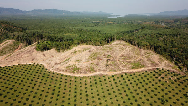Oil palm plantation, deforestation