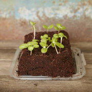 Gluttonous Gardener Seedlings