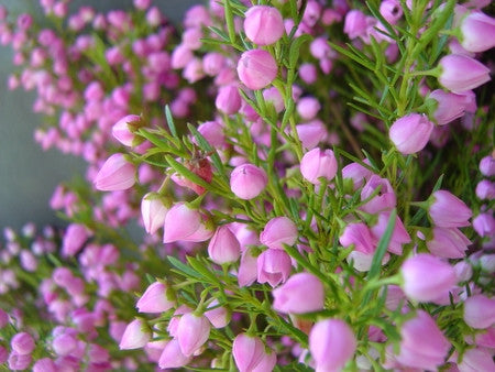 Boronia Flower absolute