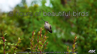 """ 8 Hours of Beautiful Birds""4K UHD Dynamic Nature Video"