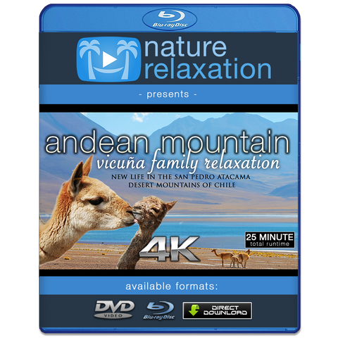 """Andean Mountain Wildlife: Vicuña Family"" 25 MIN Dynamic Music Video 4K"