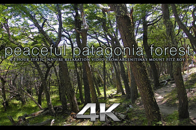 """Peaceful Patagonia Forest"" 1HR Static Nature Relaxation Video 4K"