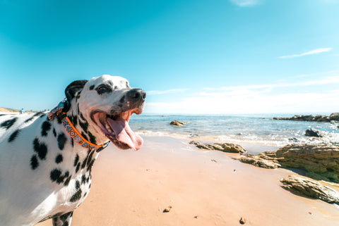 Tips to Keep your dogs cool in summer-Poochles