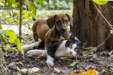dogs and cat to get along-poochles.in