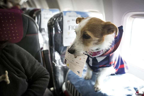 Travelling With Your Dog in A Plane