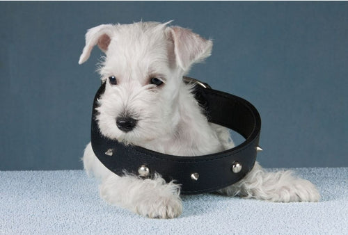 Collars For Your Puppy