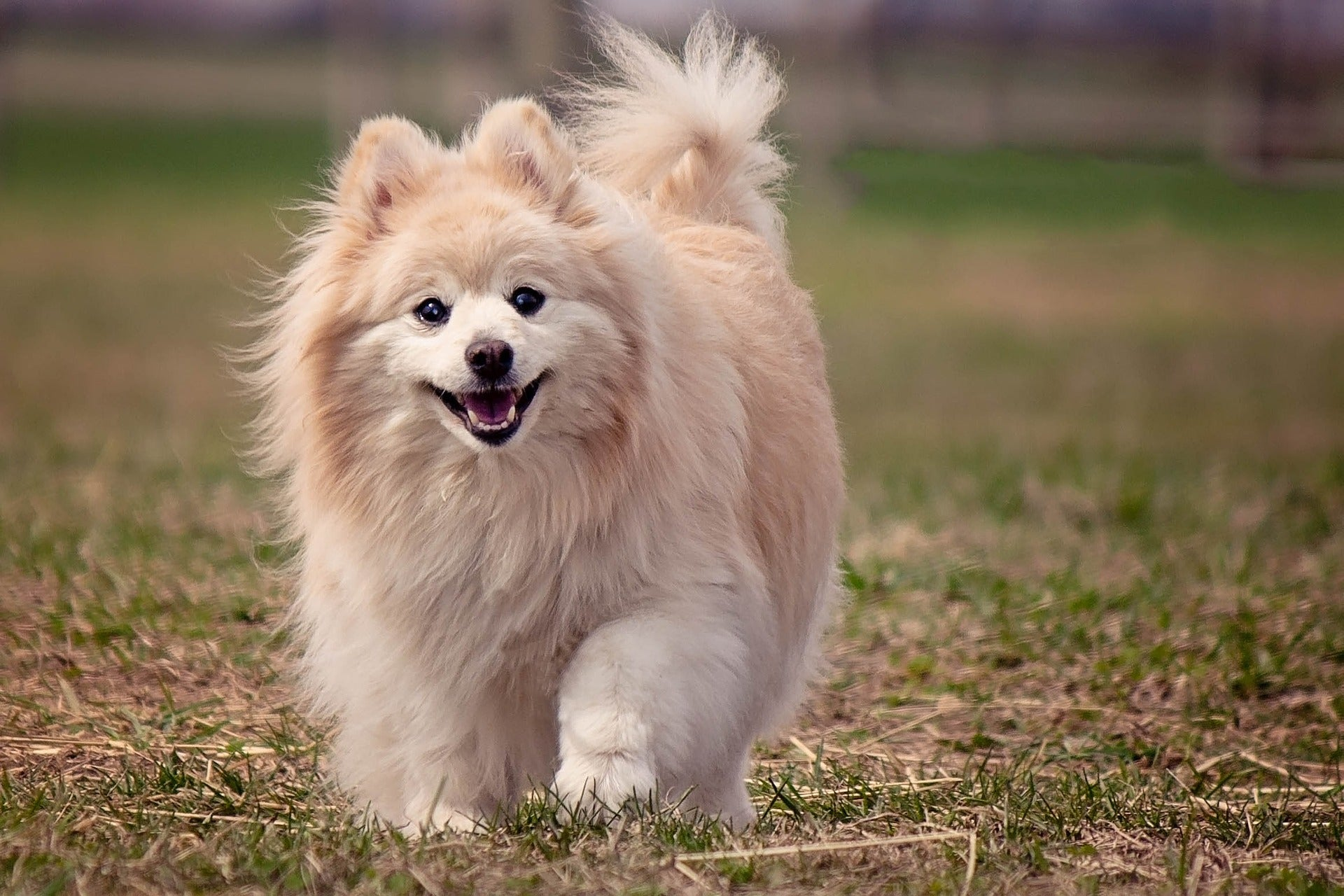 Pomeranian Dog characters-poochles.in