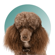 Products For Poodle