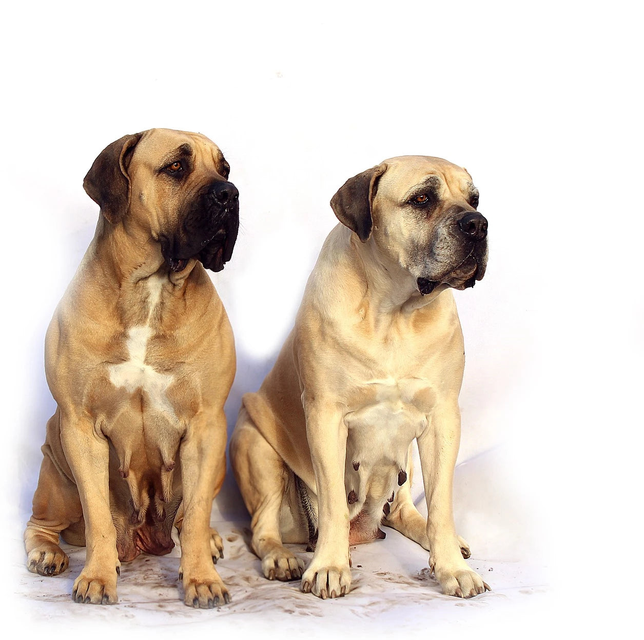 Mastiff Dog characters-poochles.in