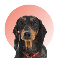 Products For Dachshund
