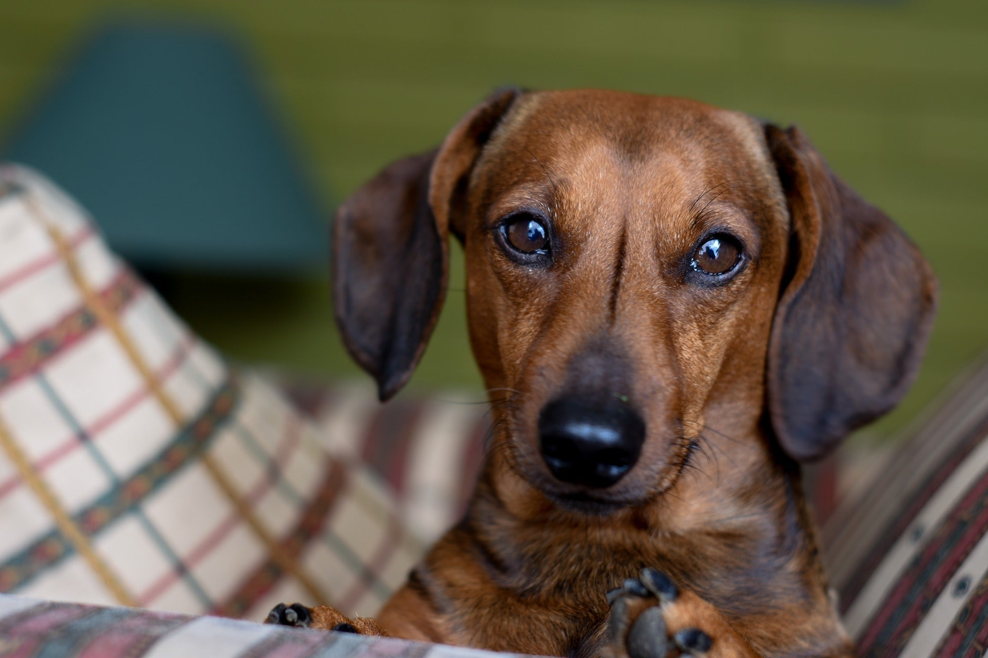 Dachshund Dog characters-poochles.in