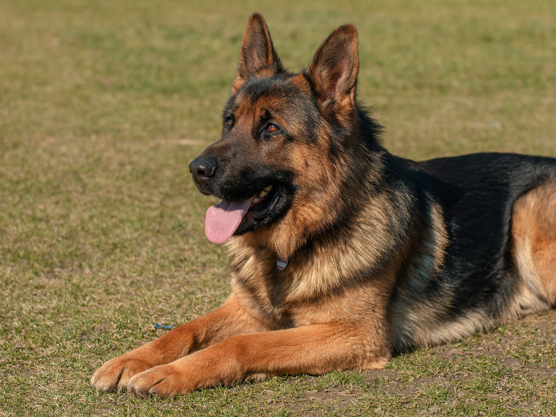 German shepherd Dog characters-poochles.in