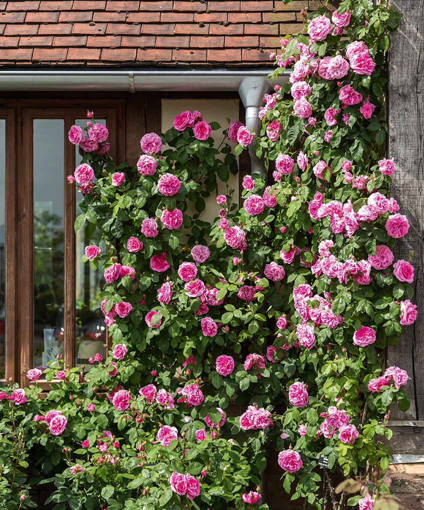 Climbing rose with pink flowers covering the front of a timber framed building.