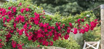 Red rambling rose Crimson Shower